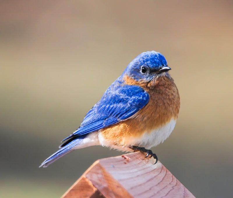 bluebird on bird house