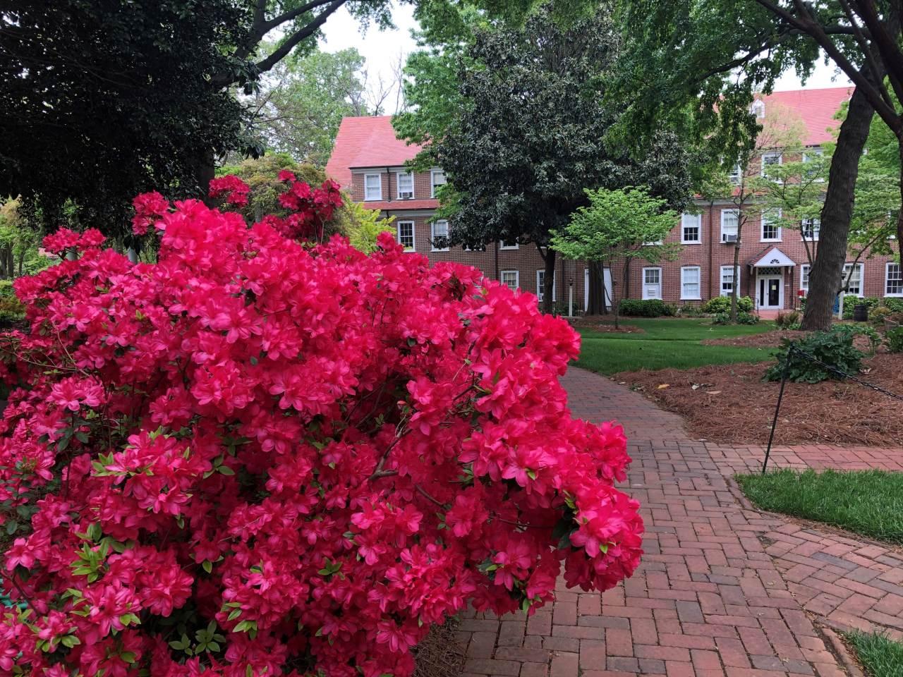 red azaleas in bloom on campus